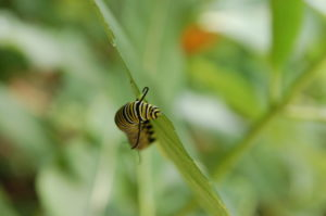 monarch-caterpillar-gagliardi
