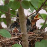 red-breasted-robin-babybirds