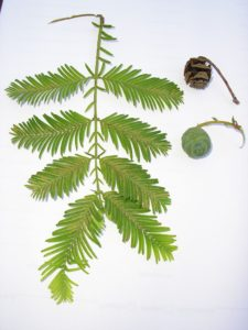 Dawn Redwood Tree Foliage
