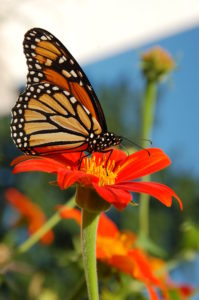 monarch-butterfly-on-tithonia-2